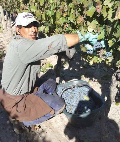 Harvest time for the Cabernet,